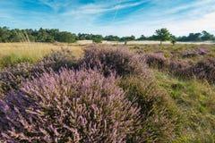 Różowy kwitnący wrzosowisko w rezerwacie przyrody w holandiach Zdjęcie Stock