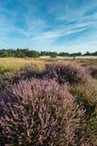 Różowy kwitnący wrzosowisko w rezerwacie przyrody w holandiach Zdjęcia Royalty Free
