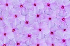 Różowy kwitnienie kwitnie tekstura abstrakta tło Zdjęcie Royalty Free