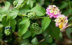 Różowy Lantana Camara kwiatów okwitnięcie Fotografia Royalty Free