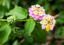 Różowy Lantana Camara kwiatów okwitnięcie Zdjęcie Royalty Free