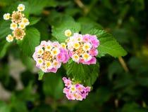 Różowy Lantana Camara kwiatów okwitnięcie Zdjęcia Royalty Free