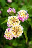 Różowy Lantana Camara kwiatów okwitnięcie Fotografia Stock