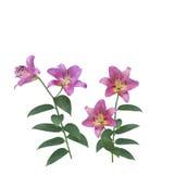 Różowy leluja kwiatów okwitnięcie Obraz Royalty Free