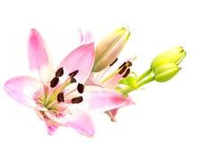 Różowy leluja kwiat, okwitnięcie i pączki odizolowywający na bielu, Zdjęcia Stock
