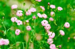 Różowy len Zdjęcie Royalty Free