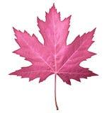 Różowy liść Zdjęcie Royalty Free