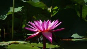 Różowy lotos na środku zielona natura Obraz Stock