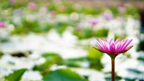 Różowy lotos, różowa wodna leluja w ogródzie Zdjęcia Royalty Free