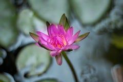 Różowy lotos w pięknym basenie Fotografia Royalty Free