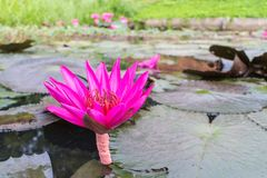Różowy lotos z liścia tłem zdjęcia royalty free