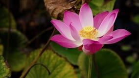Różowy lotosowy kwiat zbiory