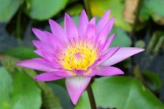 Różowy lotosowy kwiat Fotografia Royalty Free