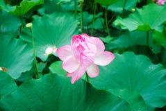 Różowy lotosowy kwiat Zdjęcia Stock