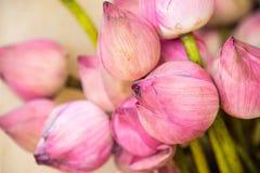 Różowy lotosowy kwiat kwitnie z zielonymi liśćmi, lotosowy kwiatu zakończenie obraz royalty free