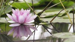 Różowy Lotosowy kwiat na stawie zdjęcie wideo
