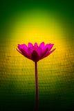 Różowy lotosowy kwiat na tle kolor żółty i zieleń Zdjęcia Royalty Free