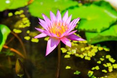 Różowy lotosowy kwiat z żółtym pollen obraz royalty free