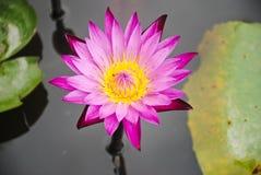 Różowy lotosowy kwiat z wodą i liściem zdjęcia royalty free