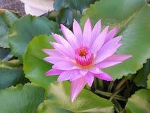 Różowy lotosu okwitnięcie Zdjęcie Stock