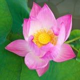 Różowy Lotus Fotografia Stock