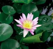 Różowy Lotus na deszczowym dniu obraz stock