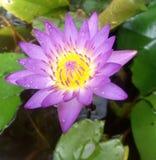 Różowy Lotus w skąpaniu Zdjęcia Royalty Free