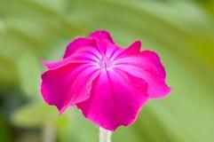 Różowy Lychnis coronaria Zdjęcia Royalty Free