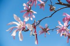 Różowy magnoliowy okwitnięcie i tradycyjny Bałkański Obraz Stock