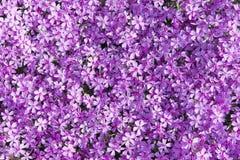 Różowy mech floksa tło Zdjęcie Royalty Free