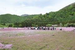Różowy mech przy Mt fuji Obraz Royalty Free