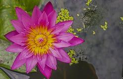 Różowy menchii Wodnej lelui pełny kwiat Obrazy Royalty Free