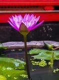 Różowy menchii Wodnej lelui pełny kwiat Zdjęcie Royalty Free
