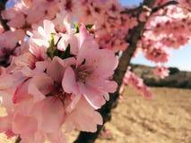 Różowy migdałowy drzewo w okwitnięciu w zimie zdjęcia stock