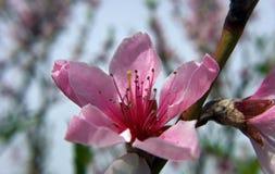 Różowy morelowy okwitnięcie kwiat Zdjęcia Stock