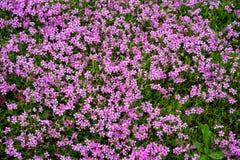 Różowy moss/nature/tło Zdjęcia Stock