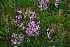 Różowy moss/nature/tło Obraz Royalty Free