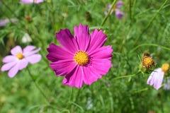 Różowy nagietek z koloru żółtego centrum nektaru tłuczkiem zdjęcia royalty free