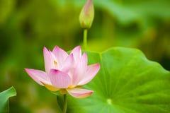 Różowy nelumbo nucifera gaertn okwitnięcie Zdjęcia Stock