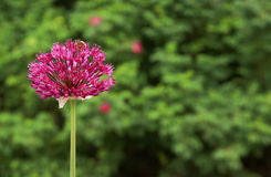 Różowy niezależny kwiat zdjęcia royalty free