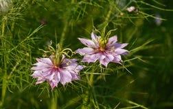 Różowy Nigella Damascena Zdjęcia Stock