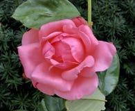 Różowy nokaut Wzrastał obraz stock