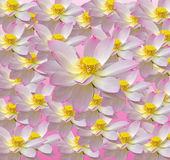 Różowy nuphar kwiat, grążel, leluja, spatterdock, Nelumbo nucifera, także znać jako Indiański lotos, święty lotos Obraz Stock
