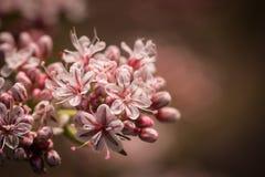 Różowy odcień Kalifornia Wildflower Fotografia Stock