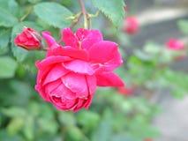 Różowy ogród różany Zdjęcie Stock