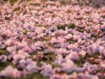 różowy okwitnięcia tabebuia Obrazy Royalty Free