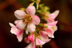 Różowy okwitnięcie Fotografia Royalty Free