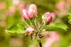 Różowy okwitnięcie Zdjęcia Royalty Free