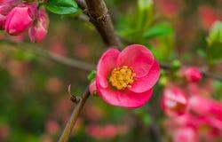 Różowy okwitnięcie Obrazy Stock