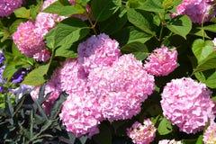 Różowy okwitnięcie zdjęcia stock